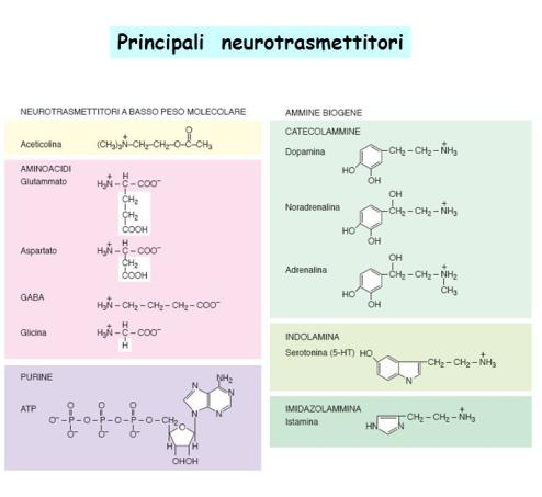 principali neurotrasmettitori